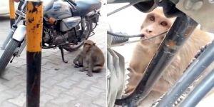 Petrol bağımlısı maymun
