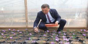 Dünyanın En Pahalı Baharatı Mersin'de Yetişiyor