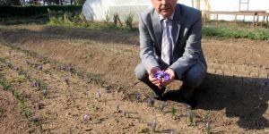 Dünyanın En Pahalı Bitkisinin Gramı 100 Lira