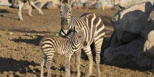 Yeni doğan zebra yavrusu parkın neşesi oldu