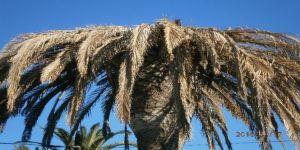 Palmiye canavarı tehdit ediyor