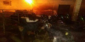 Çalınan keçilerine kavuştu