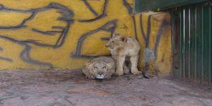 Cumhurbaşkanı Erdoğan'ın aslanları ilgi görüyor