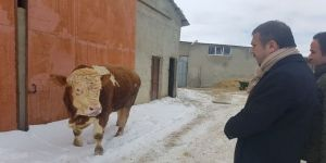 900 kiloluk danasını Mehmetçik için bağışladı