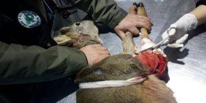 Yaralı karaca kurtarılarak tedavi altına alındı