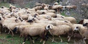 Koyun yetiştiriciliği eğitimi