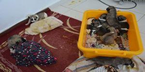 Annesiz kalan 10 yavru köpeğe bakıyor