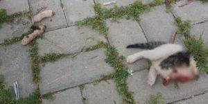 Kedi vahşeti