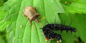 Böcek istilası nedeniyle acil durum ilan edildi
