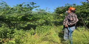 Fındıkta külleme hastalığı mücadelesi başlıyor
