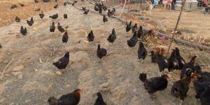 Tavukların verimi müzikle arttı