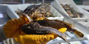 Dışı zehirli, içi lezzetli balık