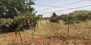 Filistinlilerin 30 bin üzün asmasını kestiler