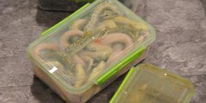 Bagajdan piton yılan çıktı