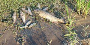 Onlarca ölü balık kıyıya vurdu