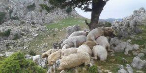 22 koyun telef oldu