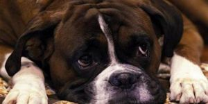 Kilo vermenin sırrı köpeklerde gizli