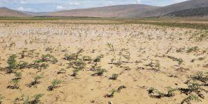 Şiddetli yağmur nohut tarlalarını çamur deryasına çevirdi