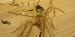 Etle beslenen örümcek