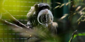 Sakallı maymun yavruladı