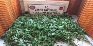 875 kök kenevir bitkisi ele geçirildi