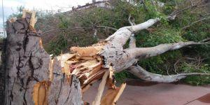Fırtına dev ağacı devirdi