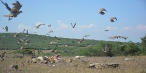 200 keklik, Dilovası'nda doğaya salındı