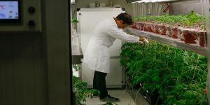Stresle tatlanan' domates geliştirdiler