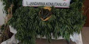 Jandarma 86 kök hint keneviri ele geçirdi
