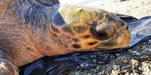 70 yaşındaki dev deniz canlısı son anda kurtarıldı