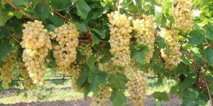 Yaş üzüm ihracatında yüzde 43 artış