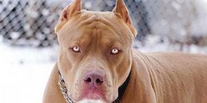 Pitbullun küçük köpeği öldürdüğü iddiası