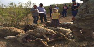 Aç kalan kurtlar sürüye saldırdı, 78 hayvan telef oldu