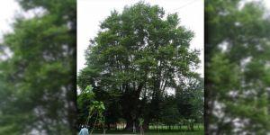 900 yaşındaki çınar ağacı tescillendi