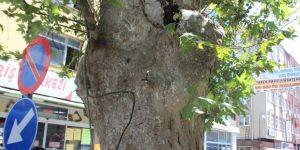 Sadece anıt ağaç değil, ibret vesikası