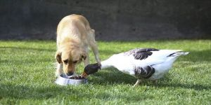 Köpek ve kazın şaşırtıcı dostluğu