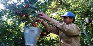 Elma ihracatı yüzde 784 arttı