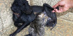 Köpek, yavru kediye annelik yapıyor