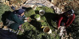 Afrin'de zeytin hasadı başladı