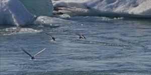 Kuzey Kutup bölgesi kuşlar için artık 'güvenli liman' değil