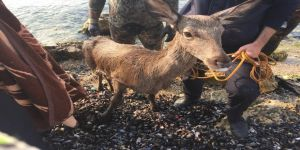 Gebze de itfaiyenin kurtardığı geyik telef oldu