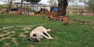 Köpekleri zehirleyip 40 koyunu çaldılar