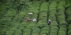 Türk çayı 2018'i rekorla kapattı
