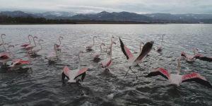 Yüzlerce flamingo İzmit Körfezi'ne akın etti