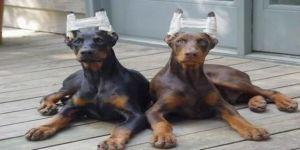 Cerrahi müdahale köpeklerin kişiliğini de etkiliyor