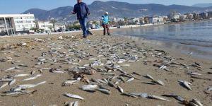 Telef olmuş binlerce balık sahile vurdu