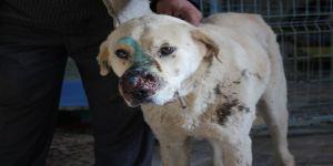 Burnunda Tümör Oluşan Köpek Sokağa Terk Edildi