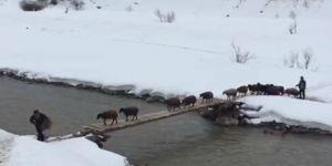 Hayvanlar, Tahta Köprüden İp Gibi Dizilip Geçiyor