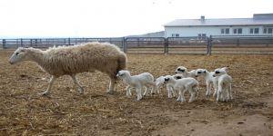 Koyun Altız Yavruladı