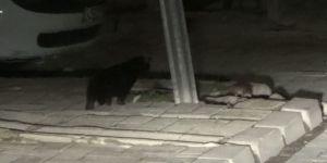 Kedinin Kaldırımda Fare İle Oyunu